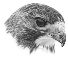 Hawk + Tutorial by PencilSessions