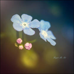 Forget Me Not by Avahlon