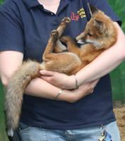 Fox Cub .. by jesshill17061