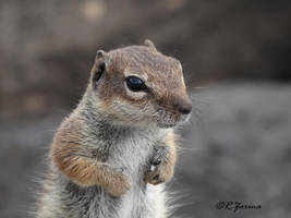 European ground squirrel by renchh