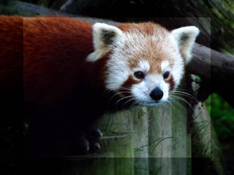 Red Panda by ShadowsGrnEyes