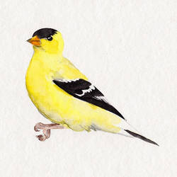 Goldfinch by excentric