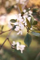 Blossom_02 by Sangvinar