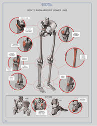 Bony Landmarks of Lower Limb by anatomy4sculptors