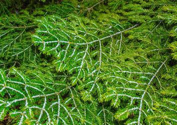 Fir-tree branches by Euripidexx1