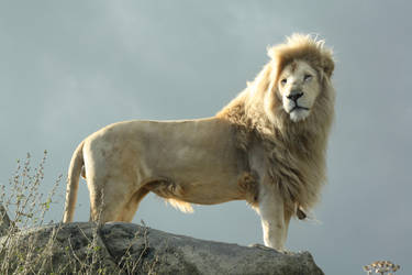 036 - White Lion by M-Knowler