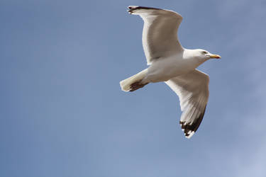 038 - Gull In Flight by M-Knowler