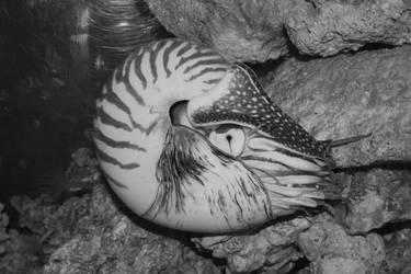 044 - Nautilus by M-Knowler
