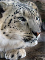 Profile of a Snow Leopard I by HeWhoWalksWithTigers