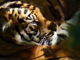 Sumatran Siesta by HeWhoWalksWithTigers