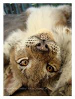 Lynx Hijinks by HeWhoWalksWithTigers