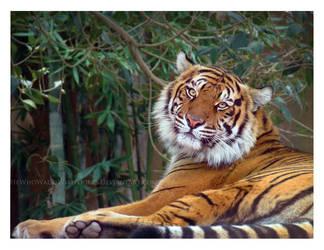 Sumatran Princess by HeWhoWalksWithTigers