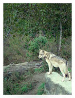 Timber Wolf by HeWhoWalksWithTigers