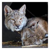 Broken Lynx by HeWhoWalksWithTigers