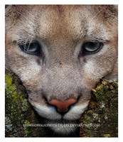 Wedge-Cat by HeWhoWalksWithTigers