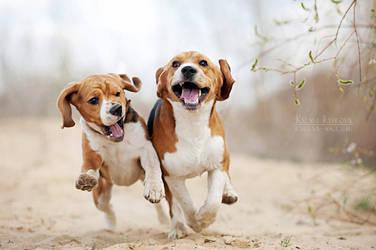Funny beagles! by Ksuksa-Raykova