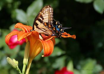 Butterfly on Lily by SecretPlacesPhoto