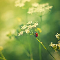 a ladybugs life by StopScreamGraphy