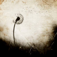 : The last dandelion : by candymax
