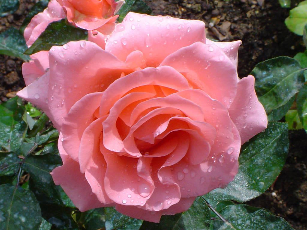 Beauty - Rose No.4 by QueenCrimson