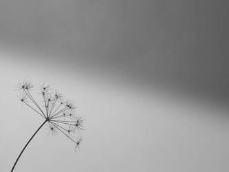 Dandelion by melihsaricam