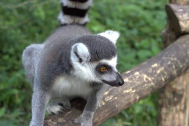 Lemur by ralesk