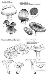 Striated and Depressed Mushrooms by MuseAmused