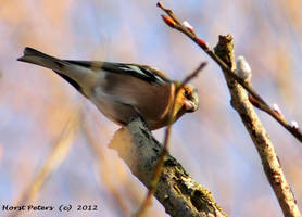 Chaffinch 6 by bluesgrass