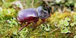 Rhinoceros-beetle by bluesgrass