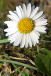 Daisy by bluesgrass