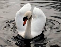 Swan 3 by bluesgrass