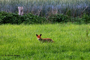 A young Fox by bluesgrass