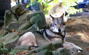 Timberwolf by bluesgrass