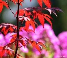 Japanischer Ahorn by bluesgrass