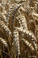 Wheat by bluesgrass