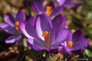First Springday  2015 by bluesgrass