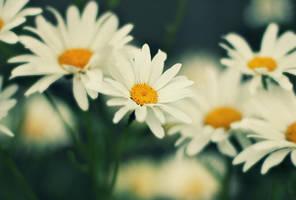 daisy by chpsauce