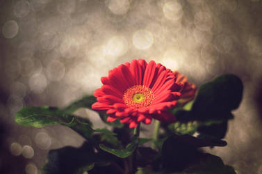Gerbera by TenthMusePhotography