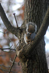 Squirrel in a tree by danhauk