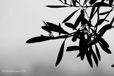 Israel 2015 - Olive trees by tortuegraphics