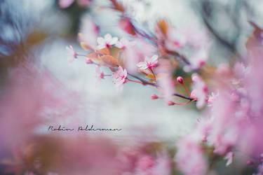 Wild cherry pop by Pamba