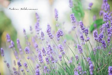 Lavender by Pamba