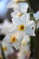 Dreamy daffodils by MaresaSinclair