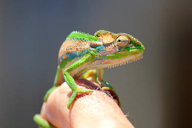 Cape Dwarf Chameleon by MaresaSinclair