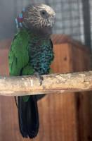 Hawk-headed parrot by MaresaSinclair