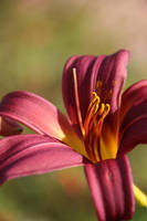 Day lily by MaresaSinclair