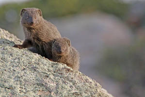 Cape Grey Mongooses by MaresaSinclair