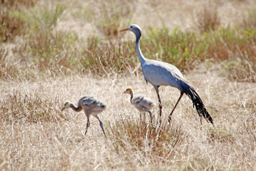 Blue Crane Family by MaresaSinclair