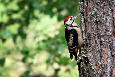 Woodpecker by MaresaSinclair