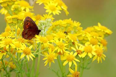 Arran Brown Butterfly by MaresaSinclair